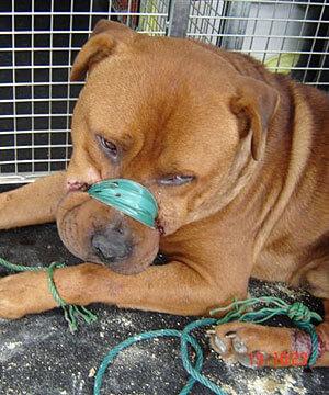abused-dog