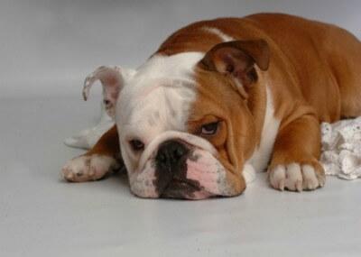 bulldog-400x285