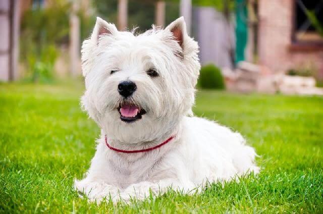 cachorro-branco
